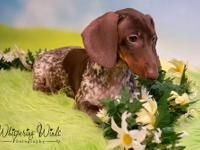 We are a breeder of Miniature Dachshunds. We breed
