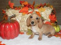 We have two female smooth ee red miniature dachshunds.