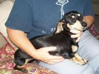 Mini Dachshund Puppies. Born 8-25-2014 CKC Reg. All