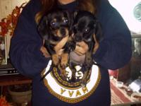 (A couple left) Black and Brindle Miniature Dachshunds