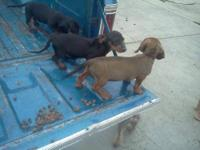 We have Miniature Dachshund Puppies for sale. They were