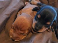Two little Miniature Dachshund Puppies. One Little Red
