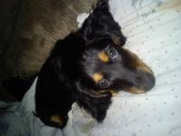 Raaven is a longhair miniature dachshund. She is