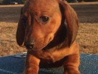 Precious Miniature Dachshund puppies available to pet