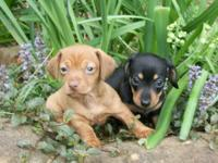 Adorable smooth layer CKC miniature Dachshund young