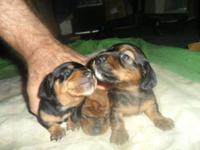 3 MINIATURE DACHSHUND MALE PUPPIES SHORT HAIR SMOOTH