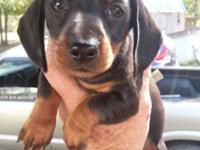 Mini Dachshund Puppies. DOB 09/13/14. Vet Checked,