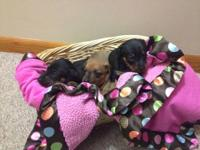 We have 3 adorable female miniature dachshund puppies