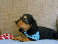 Beautiful miniature longhair dachshund pup. Without AKC