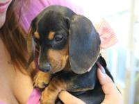 2 month old full breed miniature dachshund. Already has