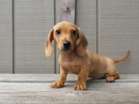 This little smooth coat miniature dachshund is the