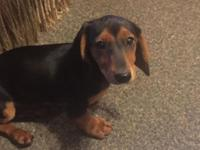 Full Blooded Male miniature dachshund puppy, 14 weeks
