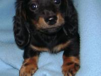 One tiny and loveable purebred APR registered miniature