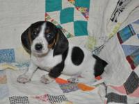 We have a beautiful litter of miniature Piebald