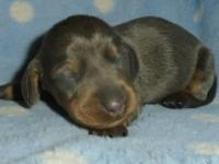 LiL Bit & Bob's puppy #4. MALE BLUE & TAN SMOOTH COAT.