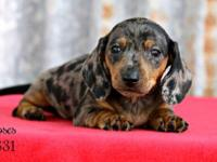 Moses - Male Mini Dachshund - is a cute little boy born