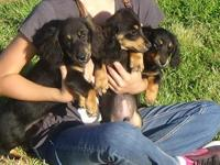 AKC registered male black and tan mini long hair