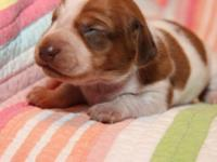 Beautiful Red piebald, Full AKC registr., 2nd shots and