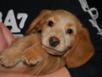 BEAUTIFUL MINIATURE DACHSHUND PUPPY ... JUST IN TIME