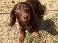 We have one male SMALL miniature dachshund adult stud.