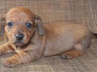 Short hair miniature dachshunds. Register CKC & & APRI.