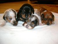 Miniature Dachshunds. 6 weeks old, with shots, wormer,