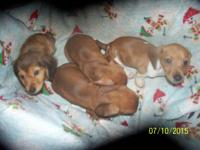 Goodnight Doxies presents our latest litter whelped May