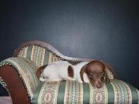 We have beatiful miniature Dachshunds for sale. We have
