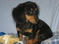 We have one AKC longhair miniature Dachshund baby,
