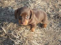 Super quite tiny and adorable daschund new puppies,