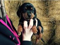 Miniature Dashound young puppies for sale, Black and