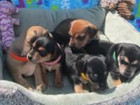 I have some Miniature Dashund Puppies available. Pure