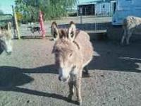 Herd Reduction Sale... mini donkeys all ages & priced