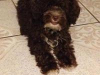 Selling chocolate colored female miniature poodle. She