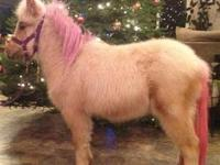 Gentle miniature gelding, 14 years old and in good