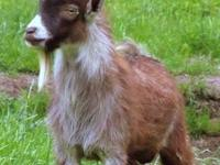 I have a total of 6 miniature goats for sale. 3 white