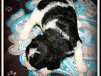 Beautiful Mini Doodles Ready to be reserved!!! Contact