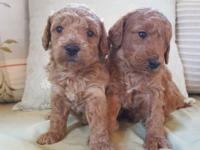 Miniature Goldendoodle Puppies. 2 males available.