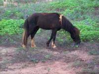 male miniature horse 2 years old. $150.00, call
