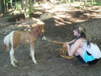 I have a 7 month old male miniature paint horse for