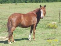 Miniature Horse - Apache - Small - Adult - Male -