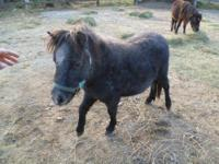 Miniature Horse - Black Ice - Small - Baby - Male -