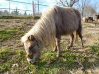Miniature Horse - Calico - Small - Adult - Female -