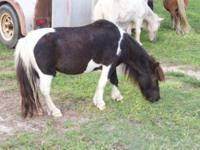 Miniature Horse - Chico And Lobo - Small - Adult - Male