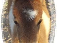 Ribbon is a flashy pinto miniature horse colt. I'm not