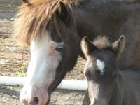 Miniature Horse Colt Foal Birth Date: June 30, 2013