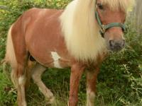 Miniature Horse - Dusty - Small - Adult - Male - Horse