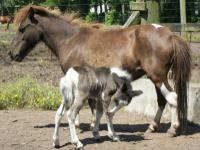 Miniature Horse Filly Foal - $500 Birth Date: May 26,