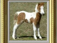 This handsome, healthy miniature horse is in need of a