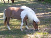 5 year old AMHR Registered pinto gelding with one blue